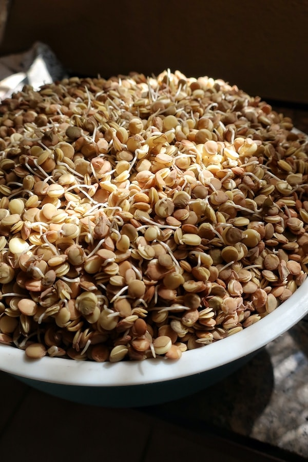 sprouted lentils in colander in sunny area